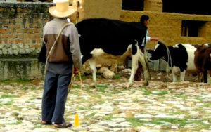 hacienda-la-collpa-el-llamado-de-las-vacas