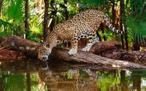 zoologico-jaguar